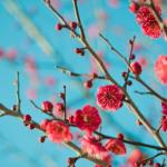 20160126朝桜