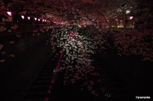 th_20160403咲き誇る桜