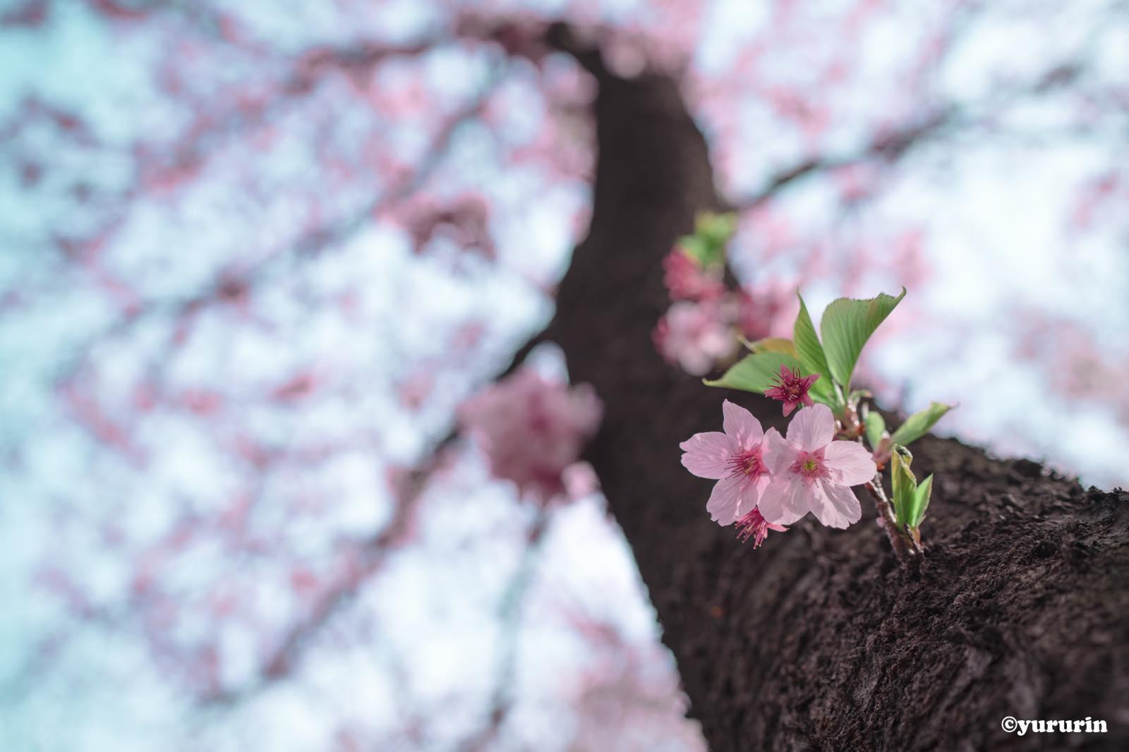 th_20160329桜、咲く!