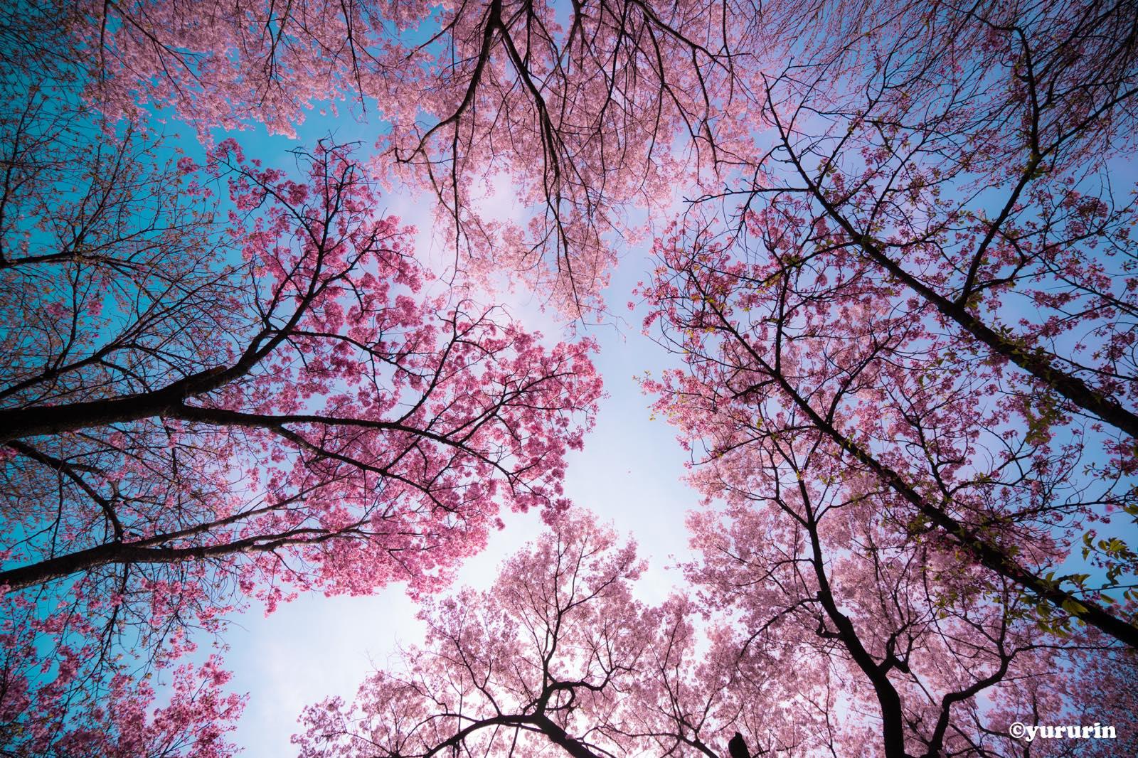 th_20160329桜-1